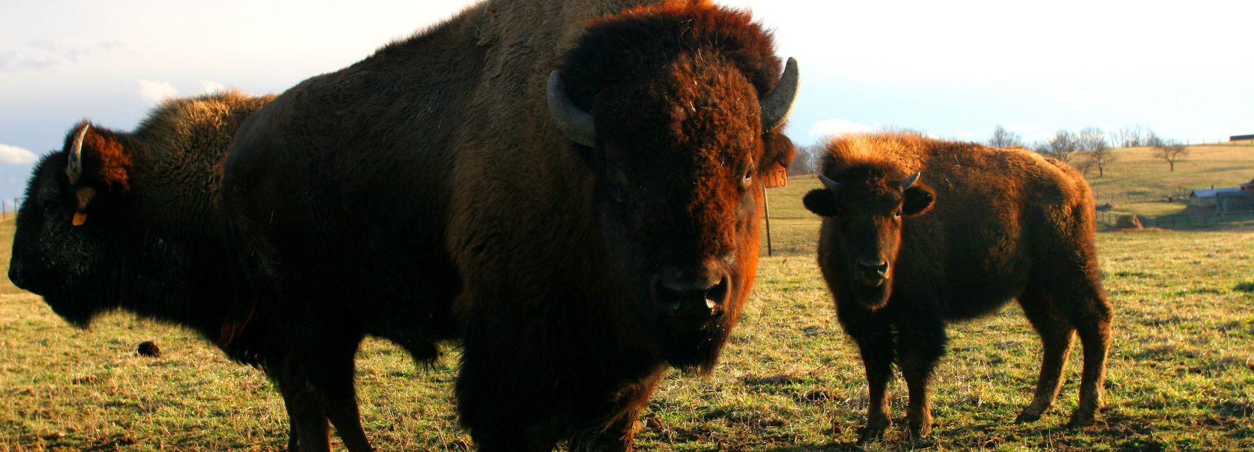 Bison Farm