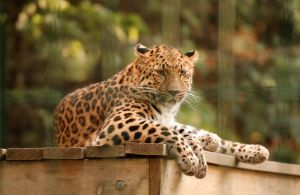 Leopard at Potawatomi Zoo