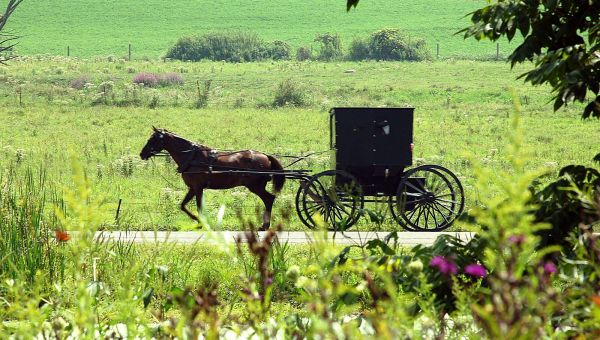 An Amish buggy is pulled by a horse down a country road.