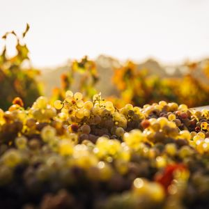 White grapes on a vine as the sun sets