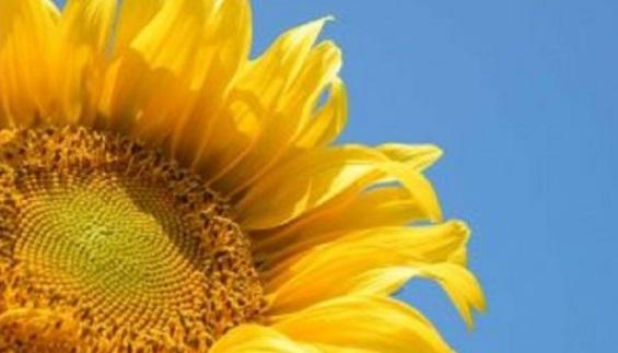 Sunflower Fair